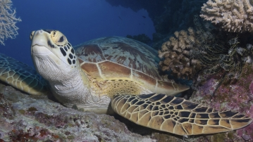 Green Sea Turtle (Photo: MartenAre/iStock)