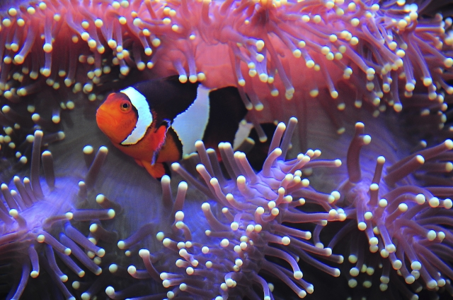 Clown Fish (Photo: MuYeeTing/iStock)