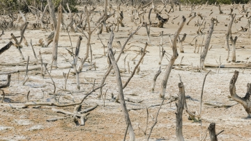 Dead mangrove tree. (Photo: iStockphoto)