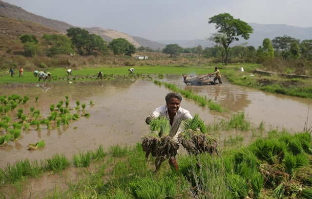 A labourer throws rice saplings as others plant them in another field in Karjat, 1 March 2016. (Photo: Reuters/Danish Siddiqui)
