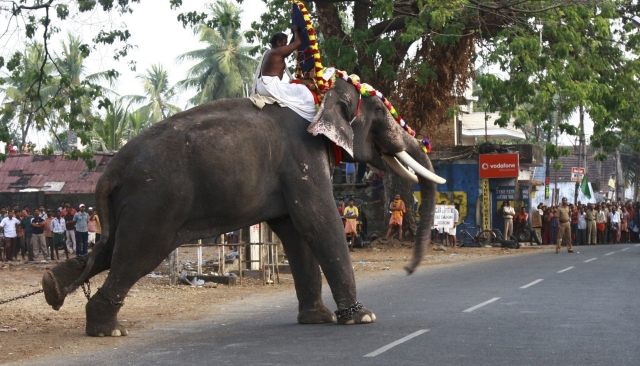 Onlookers stand as a decorated temple elephant tries to attack its mahout in Kerala (Photo: Reuters)
