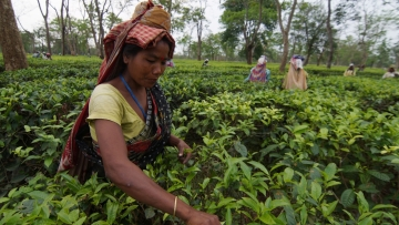 File photo of tea gardens in Assam. (Photo: IANS)