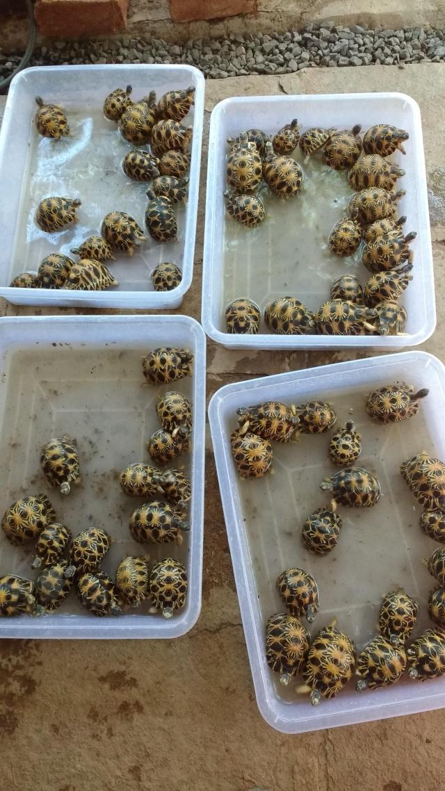 Malagasy Tortoise (Photo: Himanshu Damle)