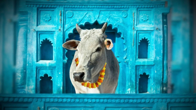 You want Moo-re! (Photo: <b>The Quint</b>)