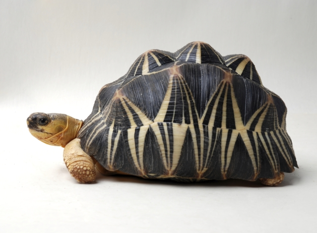 Malagasy Tortoise (Photo: iStock)