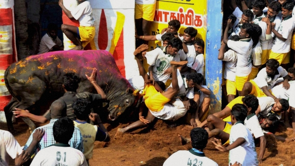 A file photo showing participants trying to tame a bull during Jallikattu festival, organised as part of Pongal, at Alanganallur near Madurai, 13 January 2014. (Photo: PTI)