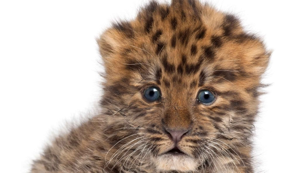 A rare female Amur leopard in London's Twycross Zoo gave birth to a pair cubs. (Photo: iStockphoto)