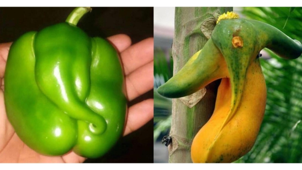 Ganesha in a capsicum and a papaya. (Photo: gnaana.com and Twitter)