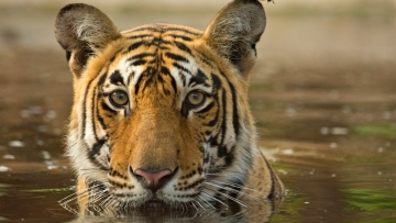 The Sundarbans is home to many key species, including tigers. (Photo: iStock)