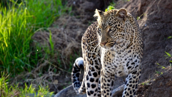 Photo for representation: An elusive and magnificent big cat – the leopard.