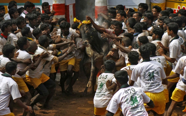 Villagers try to control a bull during Jallikattu. (Photo: Reuters)