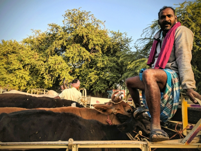 'What the f***k are you looking at?' (loose translation). A buyer loads the cows and is ready to depart. He doesn't like where I've placed the shot. (Photo: Vikram Venkateswaran)