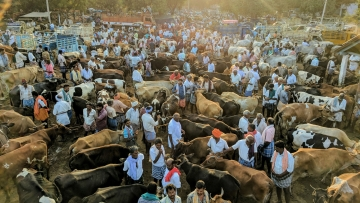 Tuesday Cattle Market in Vadipatti, an hour away from Madurai. This is where cows, men and stories coalesce. (Photo: Vikram Venkateswaran)