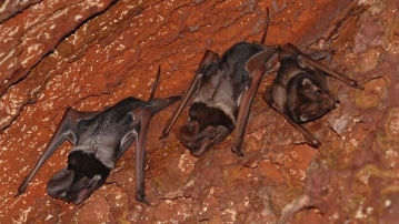"Wroughton's Free-Tailed Bats can be found in a few parts of India and Cambodia. (Photo: <a href=""https://commons.wikimedia.org/wiki/User:Kalyanvarma"">Kalyanvarma</a>)"