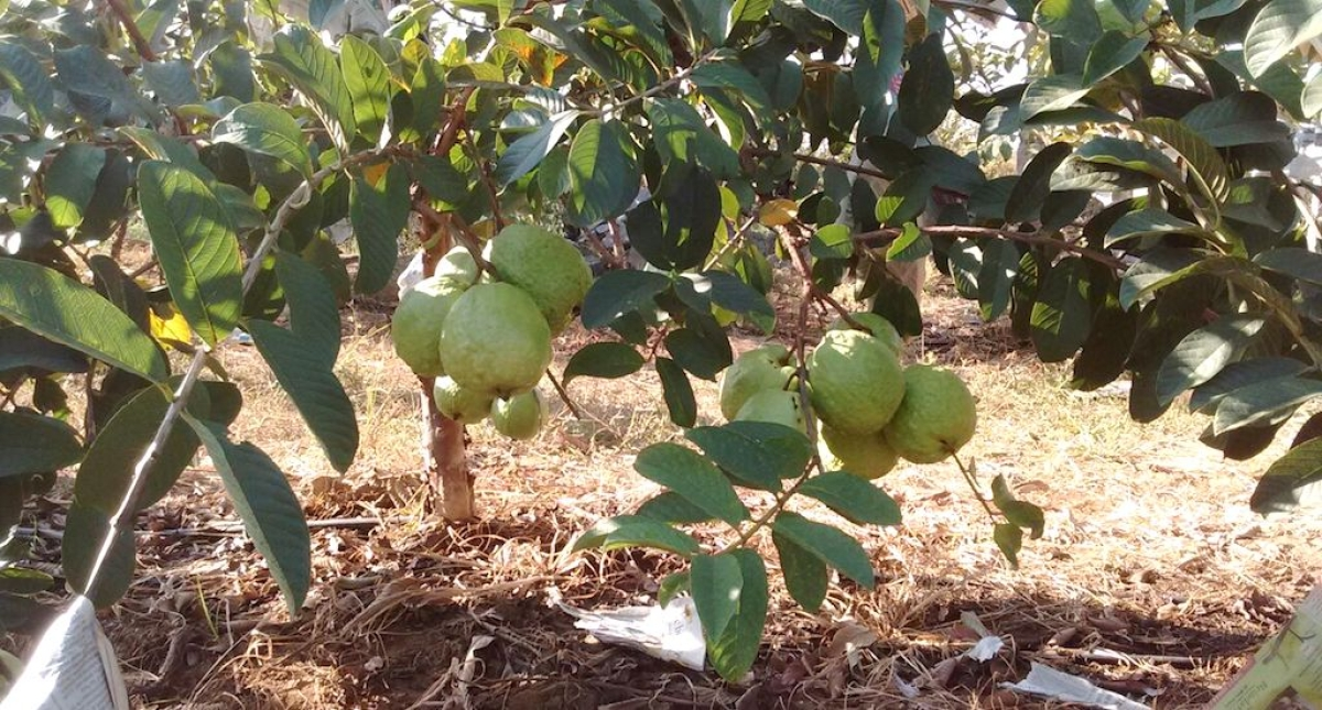 A King-Sized Guava That Keeps Farmers Smiling - The Quint