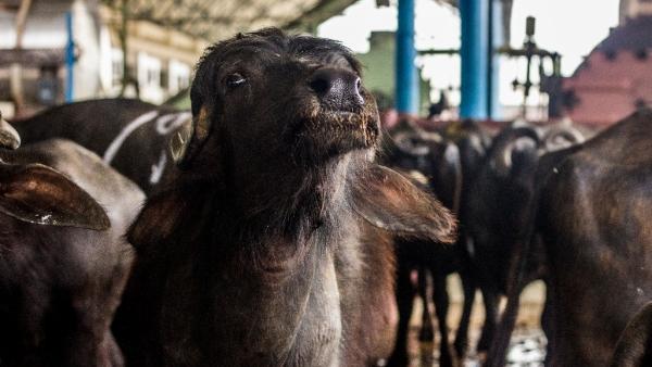 Prohibition of cattle slaughter comes with a huge economic liability. (Photo: Abhilash Mallick/<b>The Quint</b>)