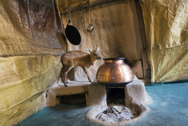 The baby deer in Sulochana's kitchen. (Photo: AP)