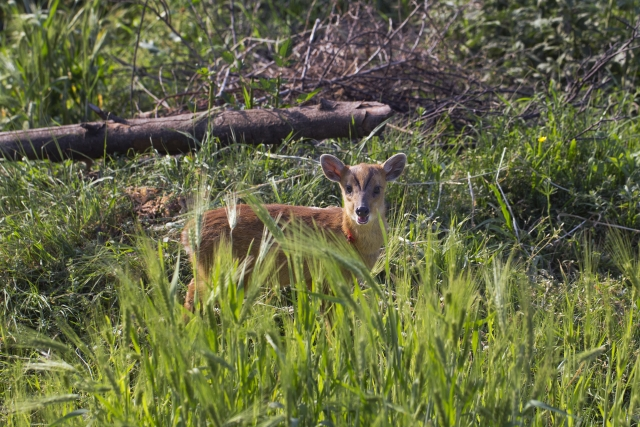 The barking deer, or Indian Muntjac. (Photo: AP)