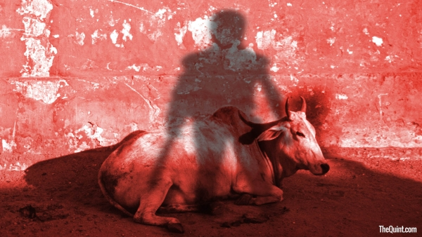 The ruling dispensation's relentless drive to promote its ideology of Hindutva has latched onto the cow as its current instrument of choice. (Photo: <b>The Quint</b>/Harsh Sahani)