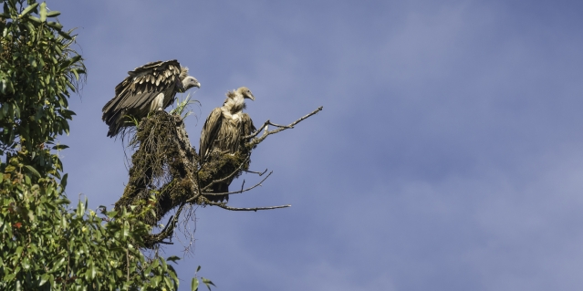 Himalayan Griffon vultures. Image for representational purposes. (Photo: iStock)