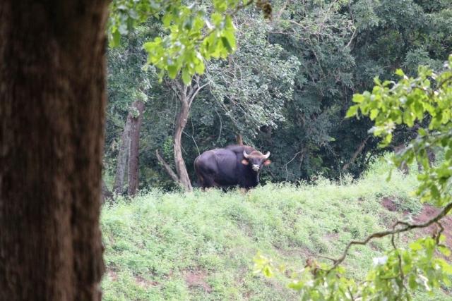 "A lone Bison at BRT Wildlife Sanctuary. (Photo Courtesy: Facebook/<a href=""https://www.facebook.com/vinayenvy"">Vinay Nv</a>)"
