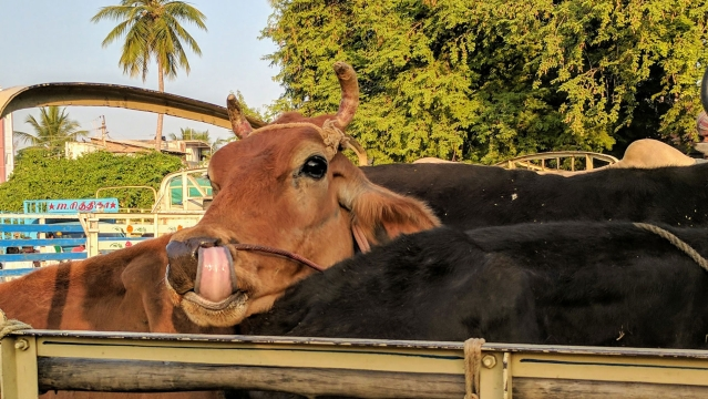 In the absence of regulations, cattle have been stuffed into vehicles beyond capacity, and tortured to stay on their feet. Cattle that sit during transit are trampled inadvertently and killed. (Photo: Vikram Venkateswaran/<b>The Quint</b>)