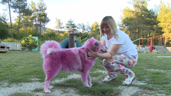 The pink Samoyed dogs were abused and abandoned by their owners. (Photo: Ruptly)