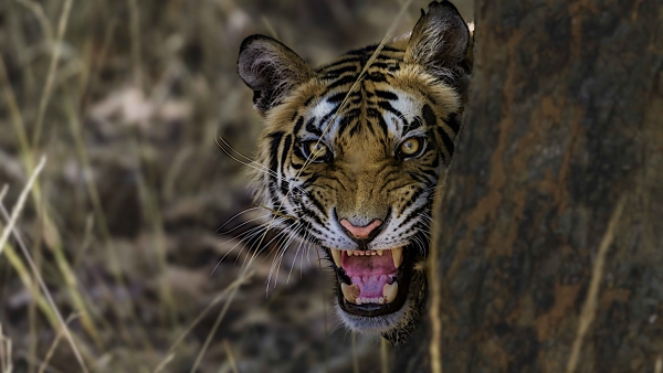 Aggression comes naturally to tigers as they always must assert territorial supremacy.