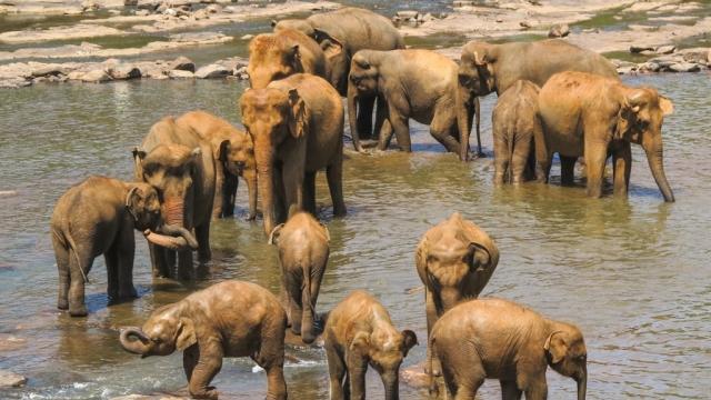 Sri Lankan elephants in a herd.