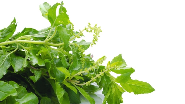 Tulsi is a storehouse of health benefits.