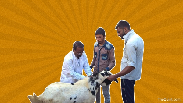 Bhopal's veterinary hospital offers unique massage facilities to animals before Kurbani.