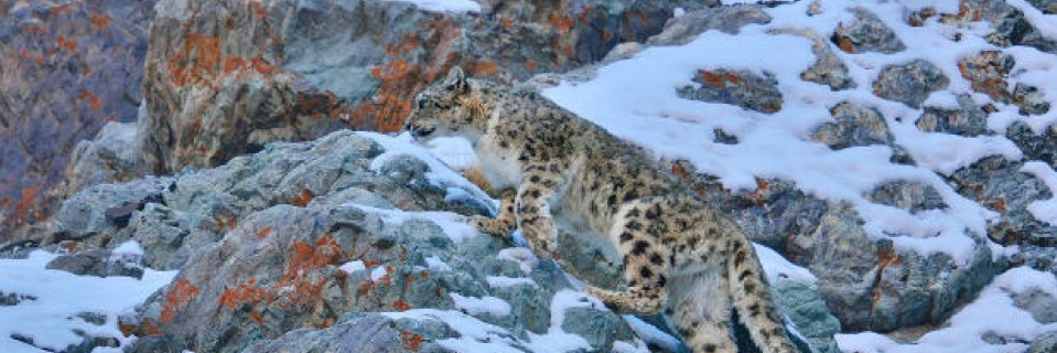 The Snow Leopard Is Counted As A Critically Endangered Species By Environment Ministry Photo