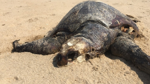Over the past week, more than a hundred Oliver Ridley turtles have washed up dead on the beaches of Chennai, and many more are believed to be floating dead on the Bay of Bengal.