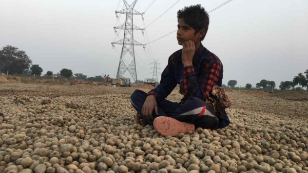 According to Kisan Shakti Sangathan, Aligarh, Mathura, Hathras, Agra, Firozabad, Etah, Etawah, Mainpuri, Kannauj and Farrukhabad account for around 20 percent of potato production.