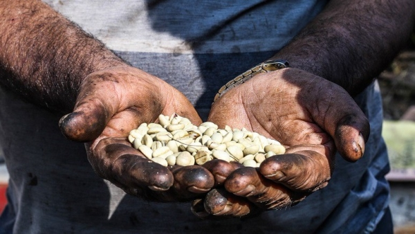 A Nepali farmer holds locally grown coffee beans in his hands.