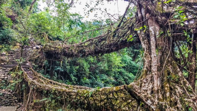 Living Root Bridges of Meghalaya.