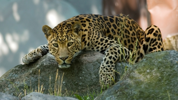 A leopard was killed after it found its way into a village, injuring three people and causing panic.