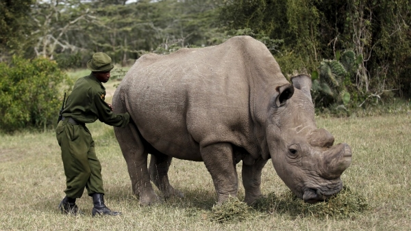 A file photo of a warden massaging the last surviving male northern white rhino 'Sudan' as it grazed at the Ol Pejeta Conservancy in Laikipia national park, Kenya on 14 June 2015.