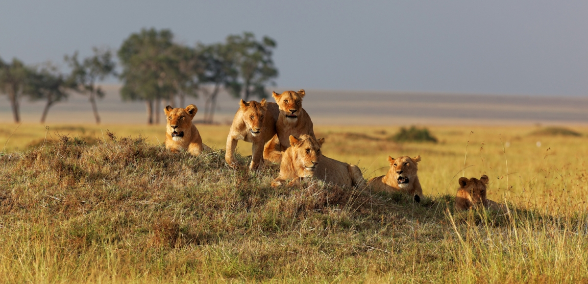 An African lion family.