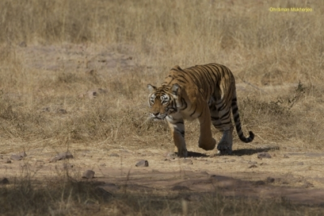 The Grand tigress Machli stalks a prey at Ranthambore National Park, Rajasthan.