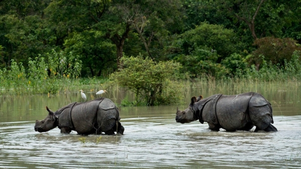 A pair of one-horned Rhinoceros wade through flood waters at the Pobitora Wildlife Sanctuary that was flooded following heavy monsoon rains at Pobitora, east of Gauhati, Assam.