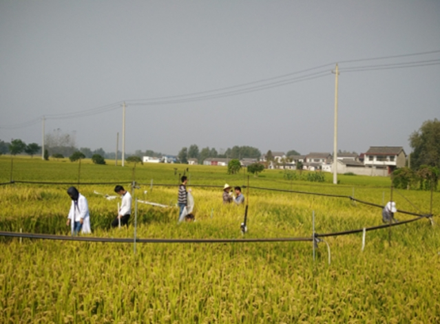 Rice within the octagon in this field is part of an experiment designed to grow rice under different atmospheric conditions. Rice grown under carbon dioxide concentrations of 568 to 590 parts per million is less nutritious, with lower amounts of protein, vitamins and minerals.