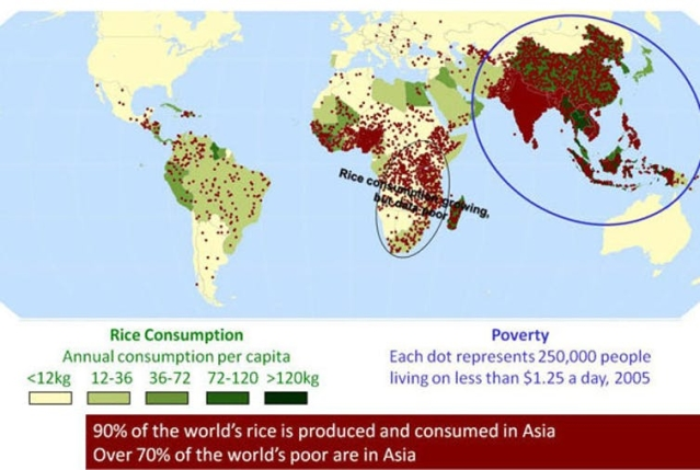Many of poorest regions in Asia rely on rice as a staple food.