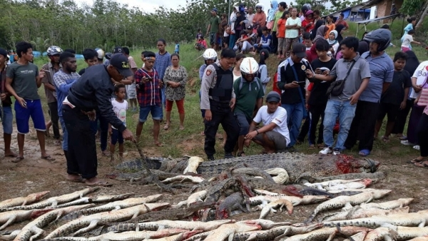 People look at the carcasses of crocodiles slaughtered by villagers in Sorong, West Papua, Indonesia.