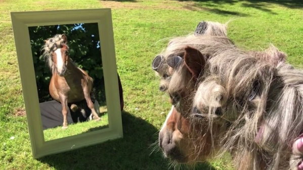 Pampered ponies, Albert and Ernie have a spa day out - face mask, massages, shampooing, curling and a low dry too.