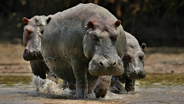 Two, Including Chinese Tourist, Killed in Kenya Hippo Attack
