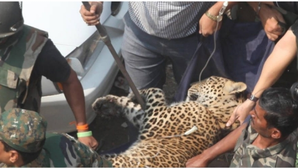 Forest Department personnel rescue a leopard from a house in Mulund, Maharashtra.