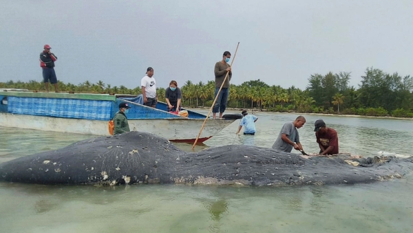 Researchers collect samples from the carcass of a beached whale at Wakatobi National Park in Southeast Sulawesi, Indonesia.