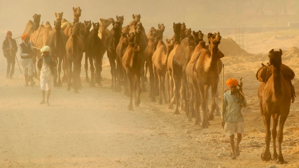One of the world's biggest camel fairs took place in Pushkar this week. Traders are seen arriving with their livestock.