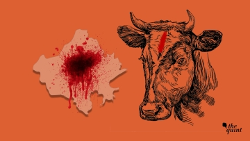 Image depicting 'cow politics' and communal violence in Rajasthan, used for representational purposes.